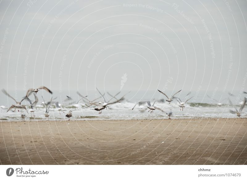 departure Animal Wild animal Bird Seagull Group of animals Flock Flying Brown Fear Beach Ocean Island Shallow depth of field Swell Waves Departure Flee Hover