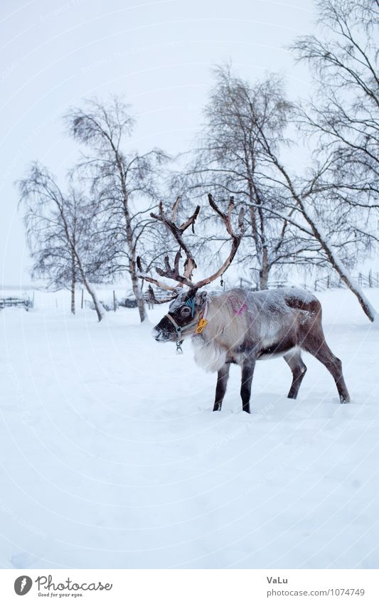 Reindeers are lovely Nature Landscape Winter Ice Frost Snow Snowfall Meadow Field Animal Wild animal Pelt 1 Stand Brown White Calm Pride Antlers Snowscape