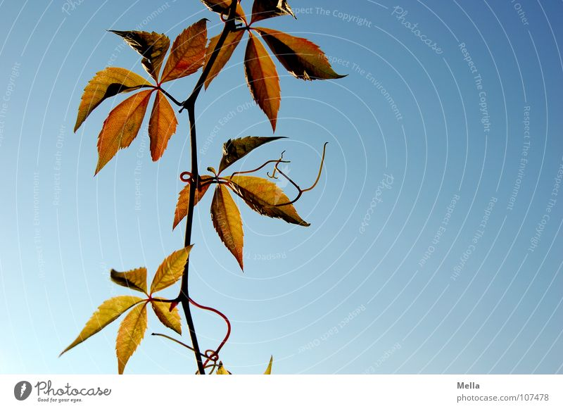 hangers Vine leaf Vine tendril Leaf Tendril Green Red Autumn Hang Under Transience hanged Sky Blue Autumnal Downward free-floating