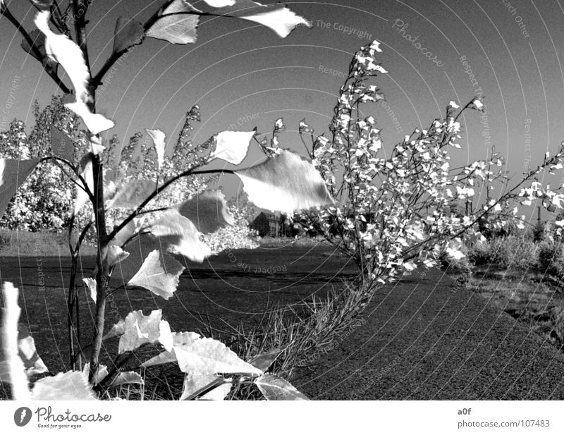 wite leaves Infrared Leaf False Tree Black & white photo without color Image editing