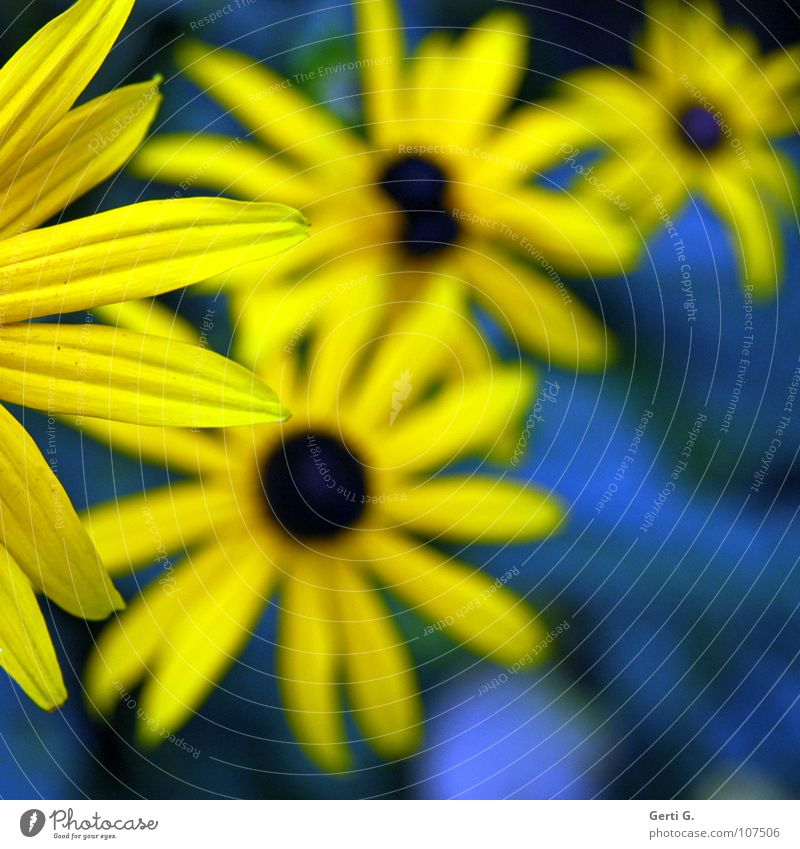 Corner Gaudy Multicoloured Two-tone Yellow Blue-yellow Flower Blossom Plant Bouquet Valentine's Day Salutation Blossom leave Depth of field Joy Colour Sunhat