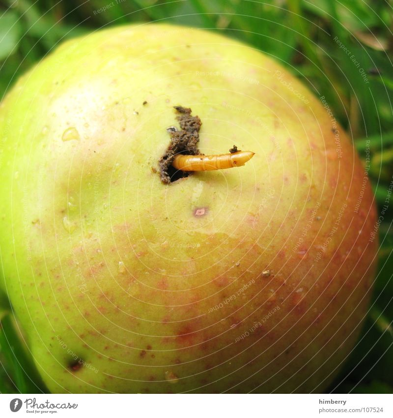 the worm in it Worm Pests Bow Wormhole Apple harvest Agriculture Grass Fruit Macro (Extreme close-up) Close-up Spoiled Garden fruits bugs Hollow Comfortable