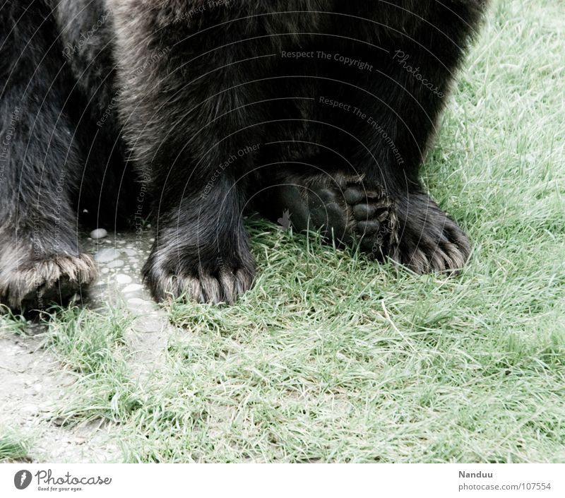 Black Animal Meadow Feet Power Sit Soft Pelt Wild animal Cozy Mammal Paw Bear Comfortable Partially visible Claw