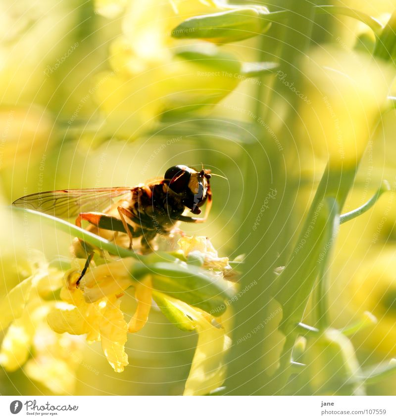 Flower Green Plant Summer Animal Yellow Meadow Blossom Spring Landscape Fly Insect Collection Feeler Pollen Honey