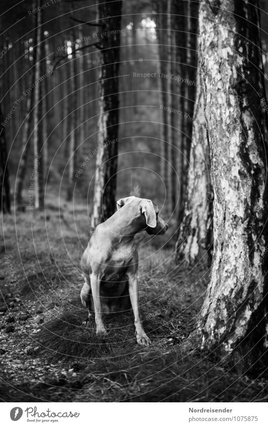senses Hunting Nature Tree Forest Animal Pet Dog 1 Sit Dark Love of animals Attentive Watchfulness Loneliness Expectation Mysterious Curiosity Hound pointer dog