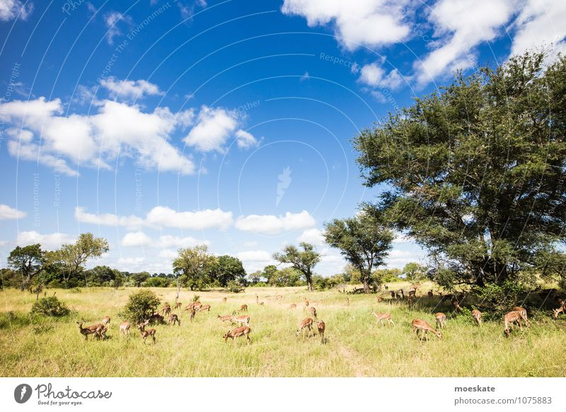 impalas Wild animal To feed Antelope Krueger Nationalpark Africa South Africa Animal Colour photo Subdued colour Deserted Copy Space left Copy Space top Day