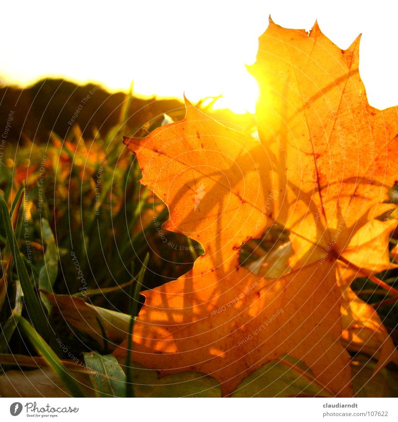 Nature Sun Leaf Meadow Warmth Autumn Lamp Lighting Orange Gold Cute Lawn Physics Hollow Autumn leaves Dazzle