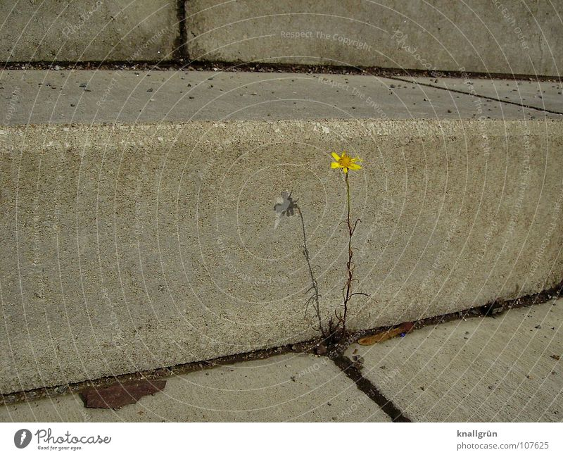 Nature Plant Summer Yellow Blossom Gray Stone Concrete Stairs Stalk Furrow Seam Midday sun