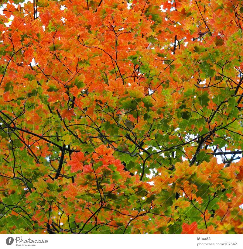 Nature Forest Autumn To go for a walk Maple tree