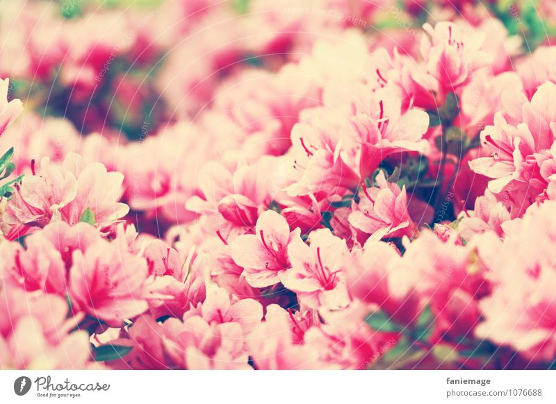 Nature Plant Beautiful White Summer Environment Warmth Travel photography Blossom Spring Pink Bushes Happiness Blossoming Many Fragrance