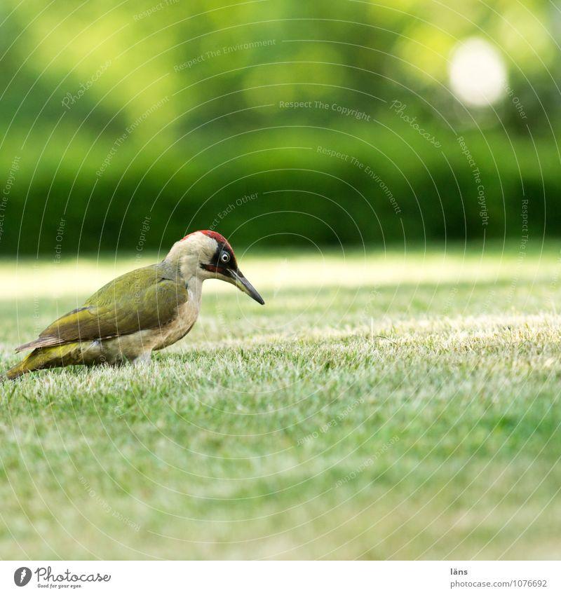 I see you Nature Grass Garden Meadow Animal Bird 1 Observe Wait Astute Curiosity Optimism Woodpecker Lawn Tepid Green woodpecker Colour photo Exterior shot