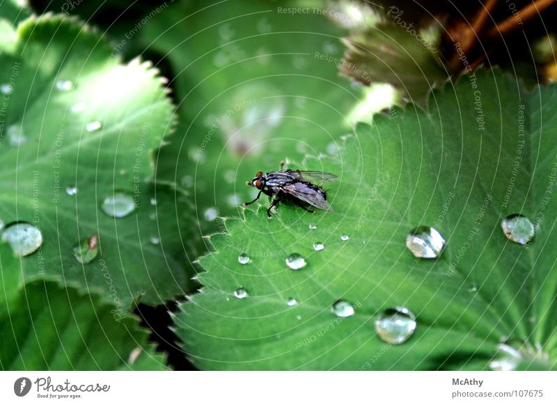 Fly and rain Leaf Rain Green Insect Drops of water Nature Macro (Extreme close-up)