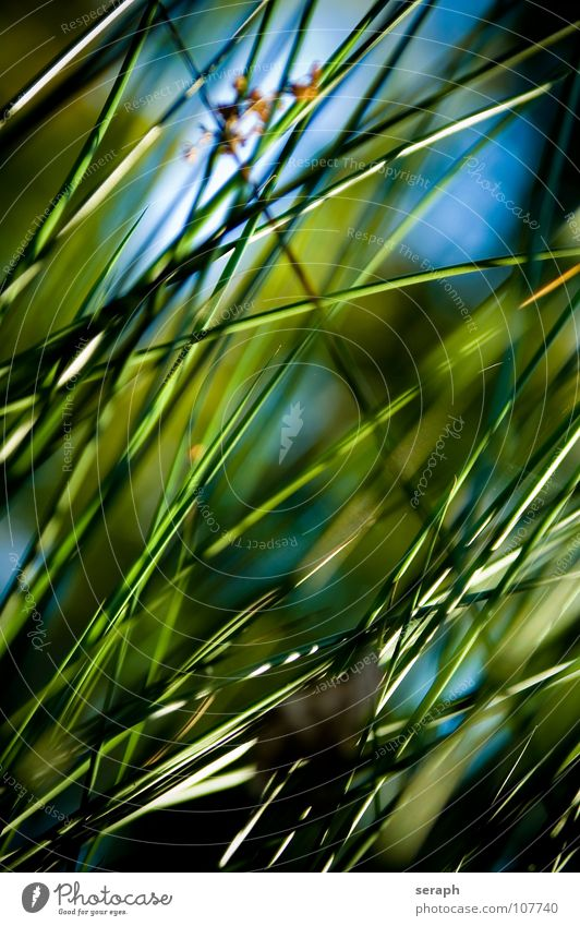 Cane Common Reed Reeds Habitat Juncus Blossom Blossoming Grass Blade of grass Plant Nature wag Environment Environmental protection Sweet grass bank