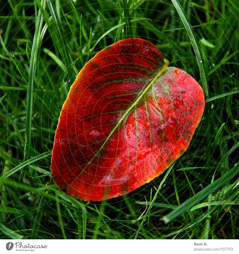 Green Red Leaf Autumn Grass Rain Line Glittering Wet Fresh Lawn Lie Transience Middle Seasons Damp