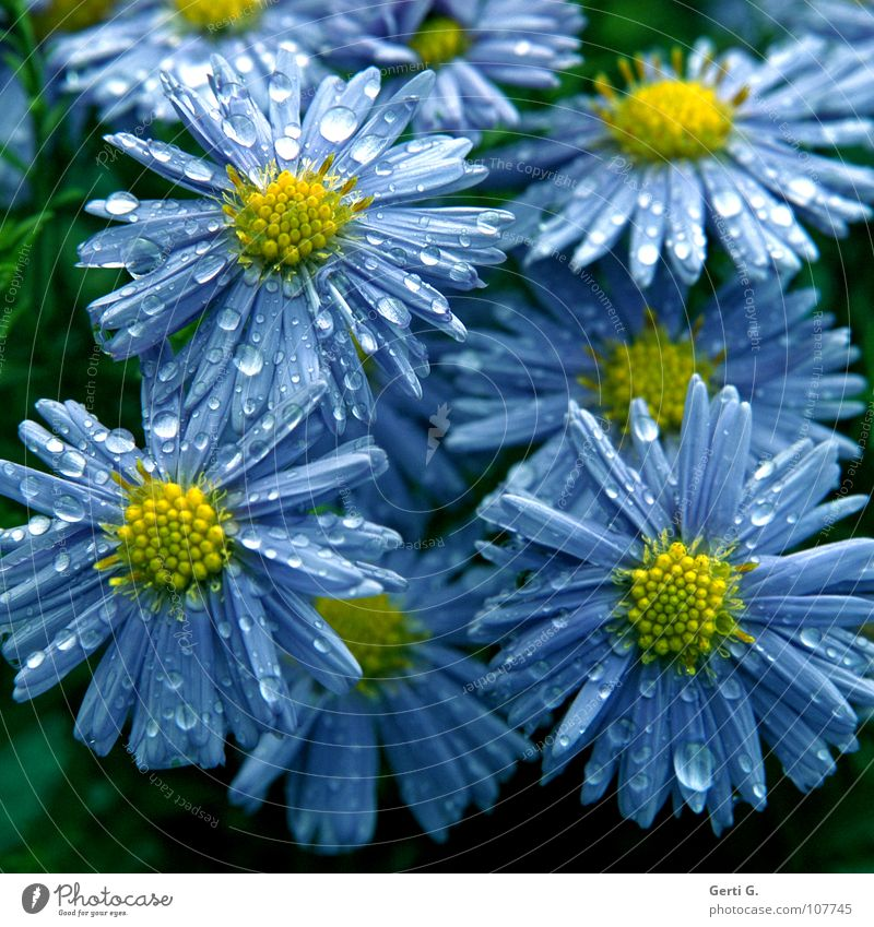 collective emotions Aster Daisy Family Ornamental plant Violet Yellow Blossom leave Wet Rain Drops of water Flower Plant Multicoloured Blue-yellow Bushes