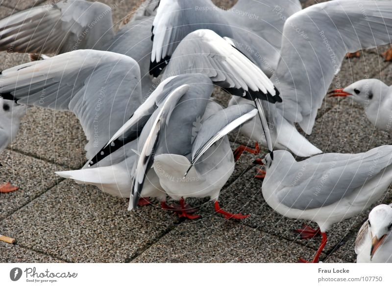 Seagull Galama Feed Feeding Bird Beak Poultry Wing seagull seagulls Flying Feather Peck bird cattle flapping