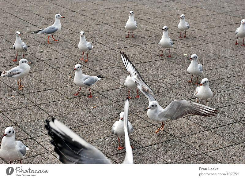 Bird Flying Feather Wing Beak Feeding Feed Poultry