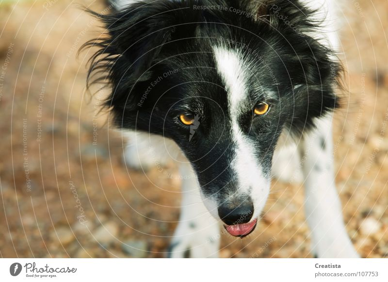Dog Mammal Animal Collie