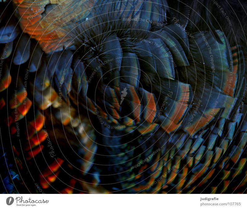Beautiful Animal Colour Bird Glittering Soft Feather Thanksgiving Turkey