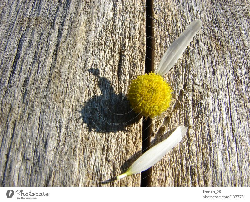 we'll soon know Nature Plant Flower Blossom Wood Beautiful Brown Yellow White Emotions Hope Desire Chamomile Blossom leave Colour photo Close-up