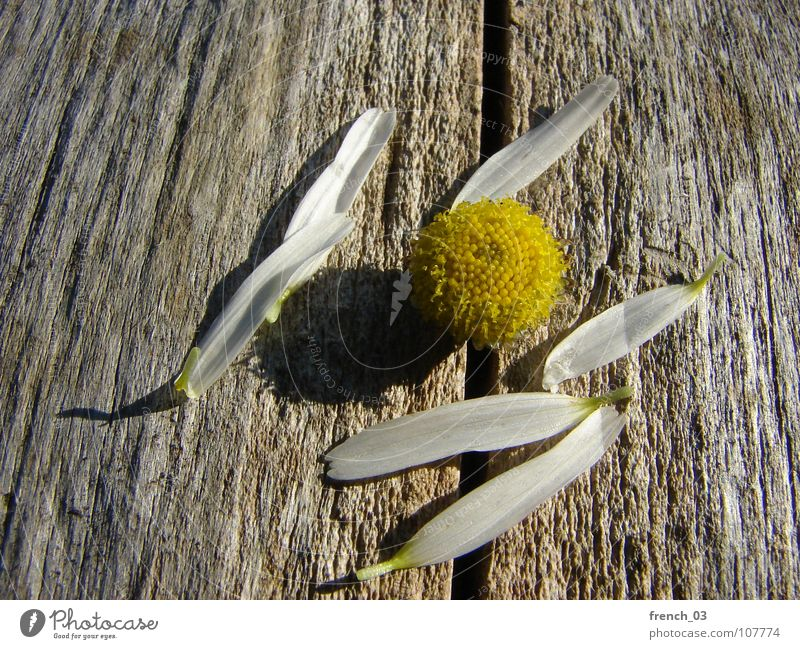 dreaming is over Nature White Flower Plant Summer Yellow Blossom Wood Brown Broken Desire Symbols and metaphors Decide Blossom leave Chamomile