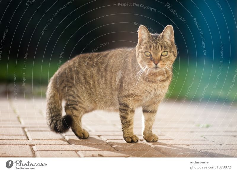 domestic cat Pet Cat 1 Animal Observe Painting (action, work) Tiger skin pattern Pelt Colour photo Exterior shot Day Looking into the camera