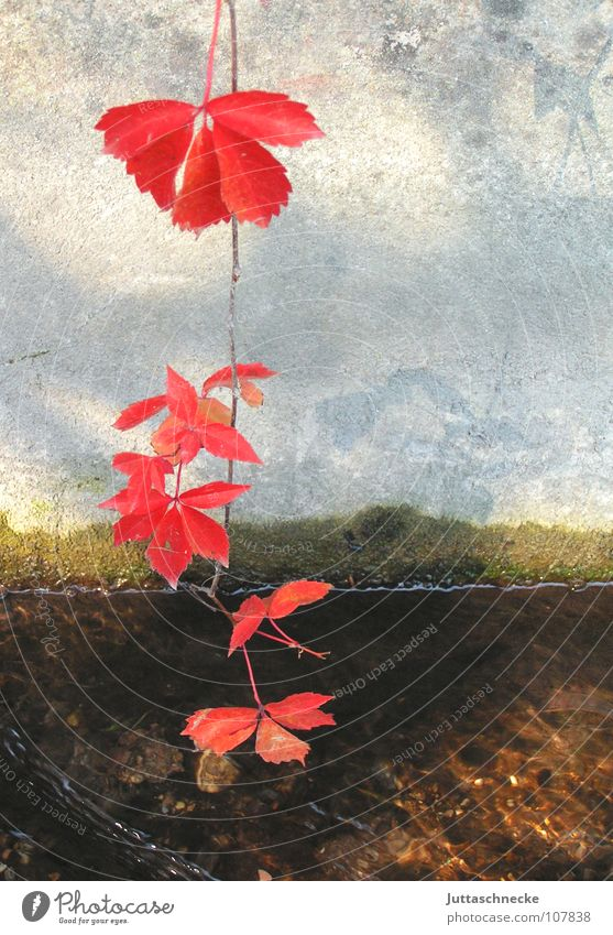 Water Red Leaf Autumn Wall (building) Concrete Vine Transience Still Life Hang Intoxication Brook Magic Deception Illusion Tendril