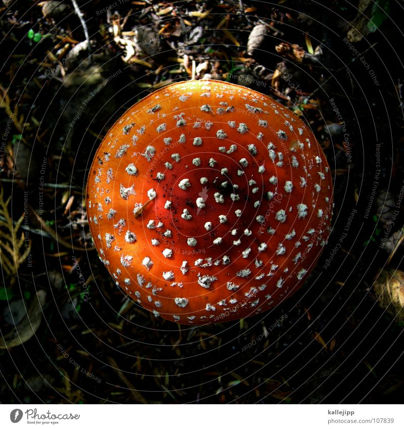 Amanita muscaria var. muscaria Amanita mushroom Poison Edible To enjoy Death Disastrous Collection Mushroom picker Mushroom soup Growth Expel Damp Forest walk