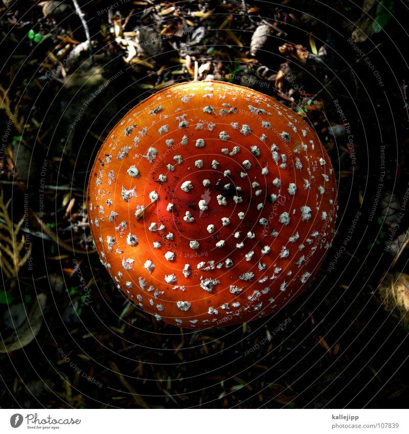 Death Rain Multiple Growth Nutrition Putrefy To enjoy Near Damp Collection Mushroom Fairy tale Microphone Poison Dwarf Disk