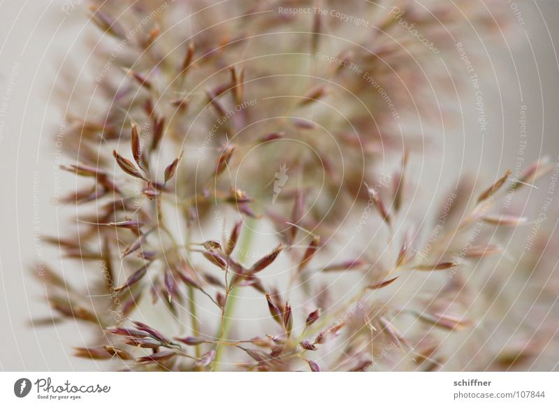 I'm shaking you a... Grass Ornamental grass Decoration Background picture Smooth Delicate Fragile Living room quaking grass flower decoration