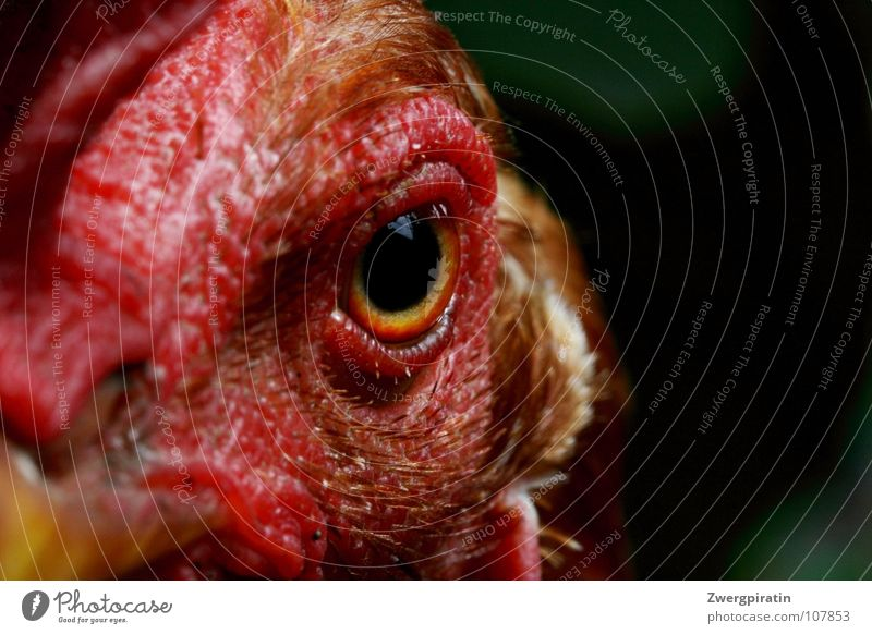 Strict view Barn fowl Animal Crest Animal face Eyes Pupil Red Near Exterior shot Macro (Extreme close-up) Bird Looking into the camera Bird's head Bird's eyes