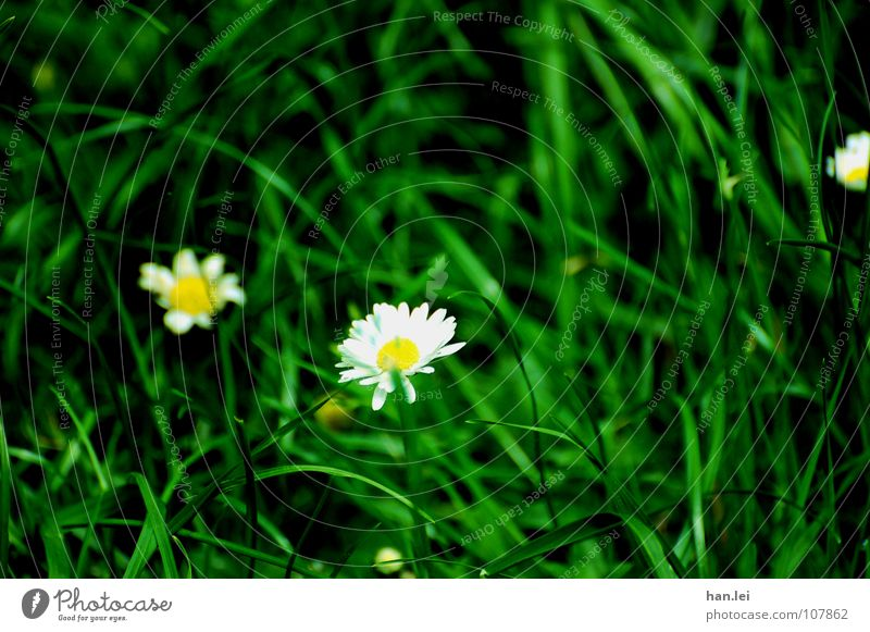 daisies Garden Flower Grass Small Daisy Muddled goose lime sauce Lawn Black-green white yellow Colour photo