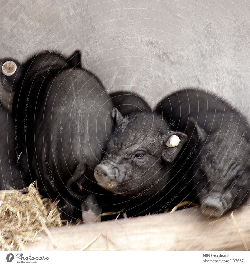 pigs' EIRY Swine Pot-bellied pig Piglet Grunt Squeal Wood Black Bristles Cute Small Wrinkles Tails Trunk Straw Barn Odor Joist Nostril Farm Cuddling Cuddly 3