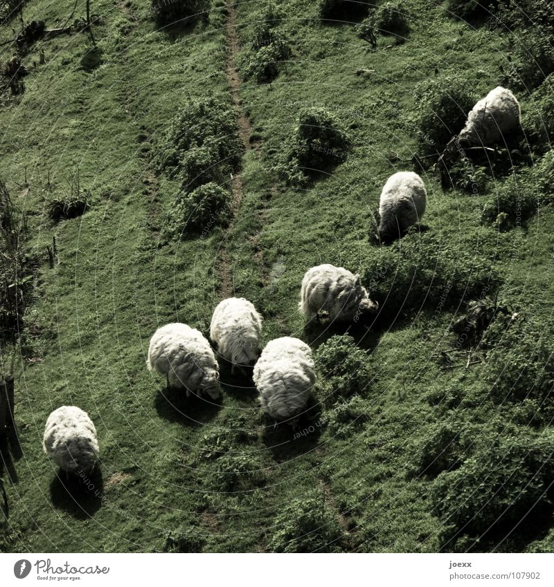 sheepskin Diagonal Pelt To feed Green Sweater Sheep Lamb Lamb's wool Knit Meadow Wool Mammal Pasture