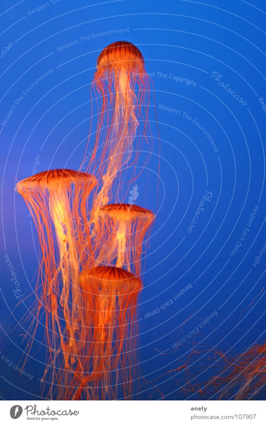 Ocean Blue Colour Lamp Underwater photo Orange Fish Mushroom Aquarium Hover Poison Jellyfish Flashy Impressive Tentacle