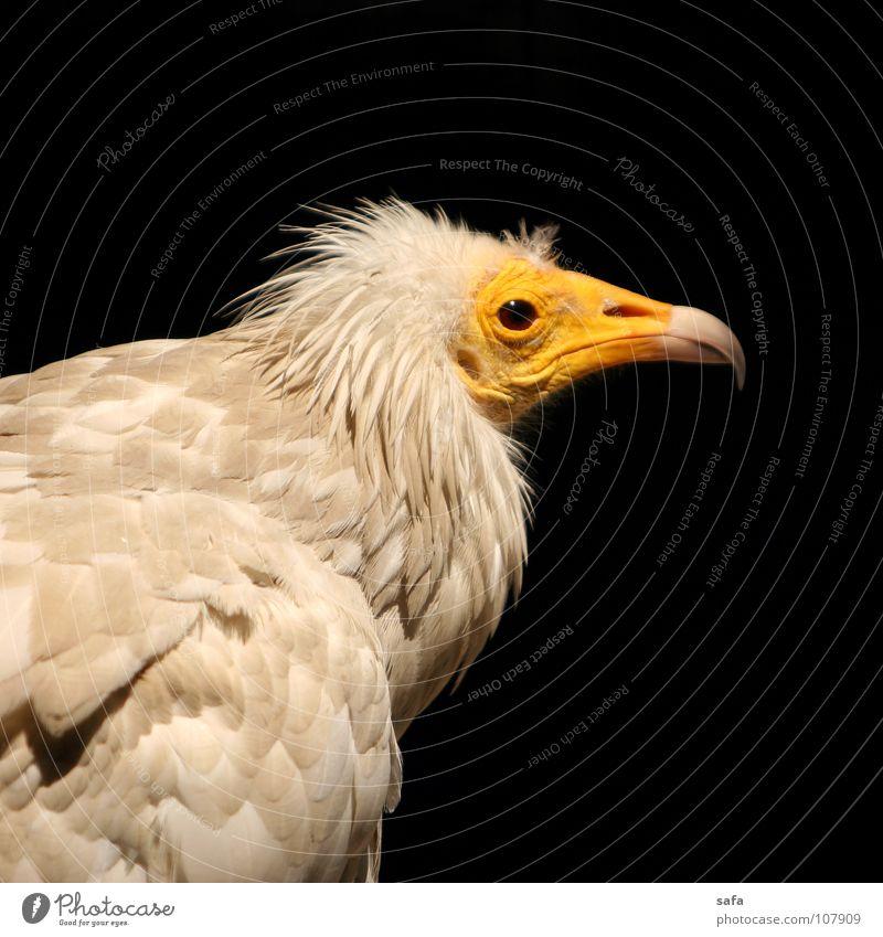 Nature White Animal Black Yellow Head Bird Wild Wild animal Nose Feather Asia Zoo Beak Iran Iranian