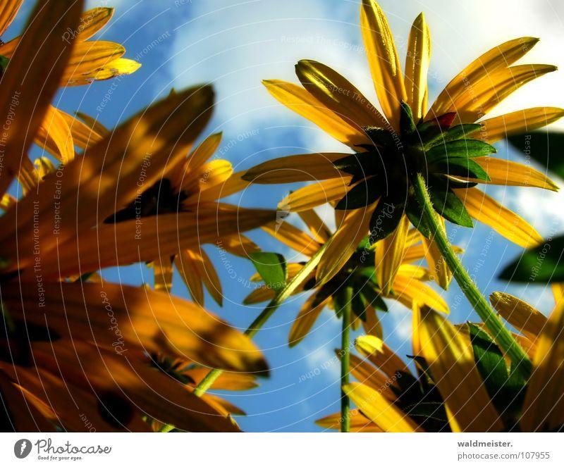 Sky Blue Summer Flower Clouds Yellow Blossom Garden Romance Garden Bed (Horticulture) Herbaceous plants Flowerbed Rudbeckia