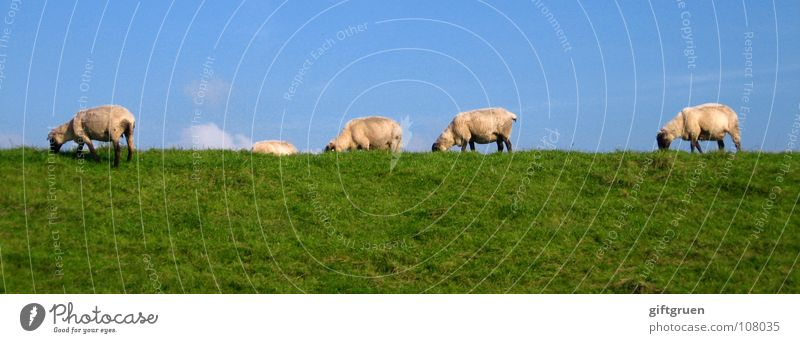 Sky White Green Blue Clouds Animal Meadow Grass Sheep To feed Mammal Blue sky Wool Dike Plant Catwalk