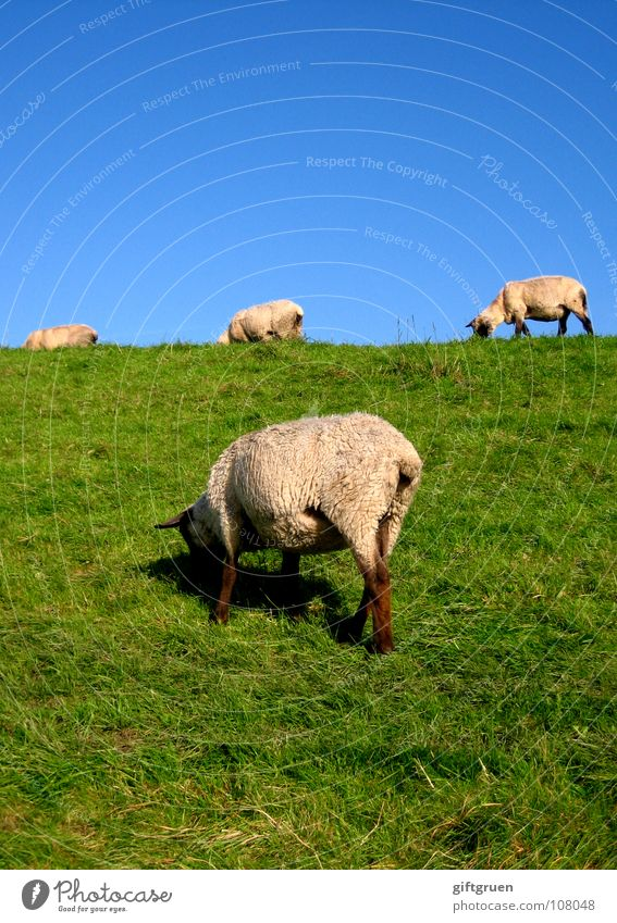 woolly lawn mowers Sheep Lawnmower Dike Grass Meadow To feed Green White Animal Wool Rural conservation Mammal Beach Coast Mow the lawn Blue Sky