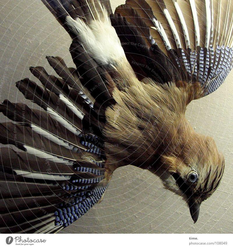 Blue Eyes Death Brown Bird Feather Raven birds Disorientated Jay