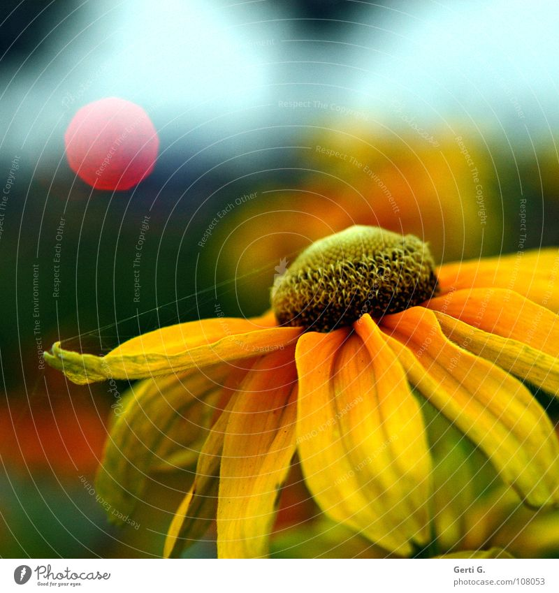 flower snapshot Flower Blossom Plant Blossom leave Yellow Sunflower Multicoloured Light Point of light Red Traffic light Spectral Photomagnetic Diffused light