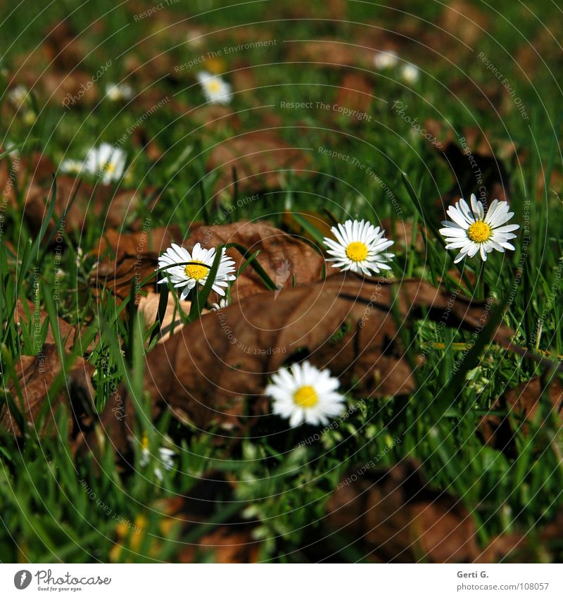 crazydaisy Daisy Autumn Green Brown Leaf Dry Brittle Meadow Grass Multiple Autumn leaves White Yellow Blossom Flower Autumnal colours Comfortable Old Like