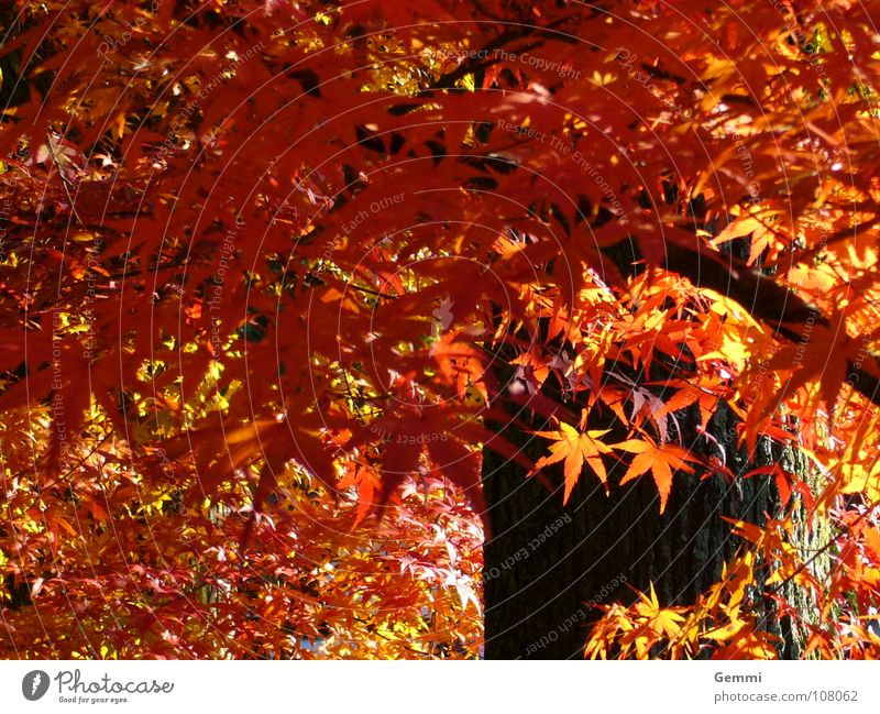 Beautiful Tree Red Leaf Warmth Autumn Illuminate To fall Physics Exotic Japan Maple tree Unwavering Homey
