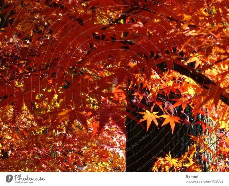 Momiji Exotic Beautiful Autumn Warmth Tree Leaf To fall Illuminate Red Unwavering Maple tree Physics Homey Japan momiji Multicoloured Exterior shot