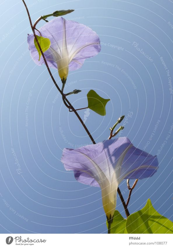 Blue Blossom 2 Wind Calyx