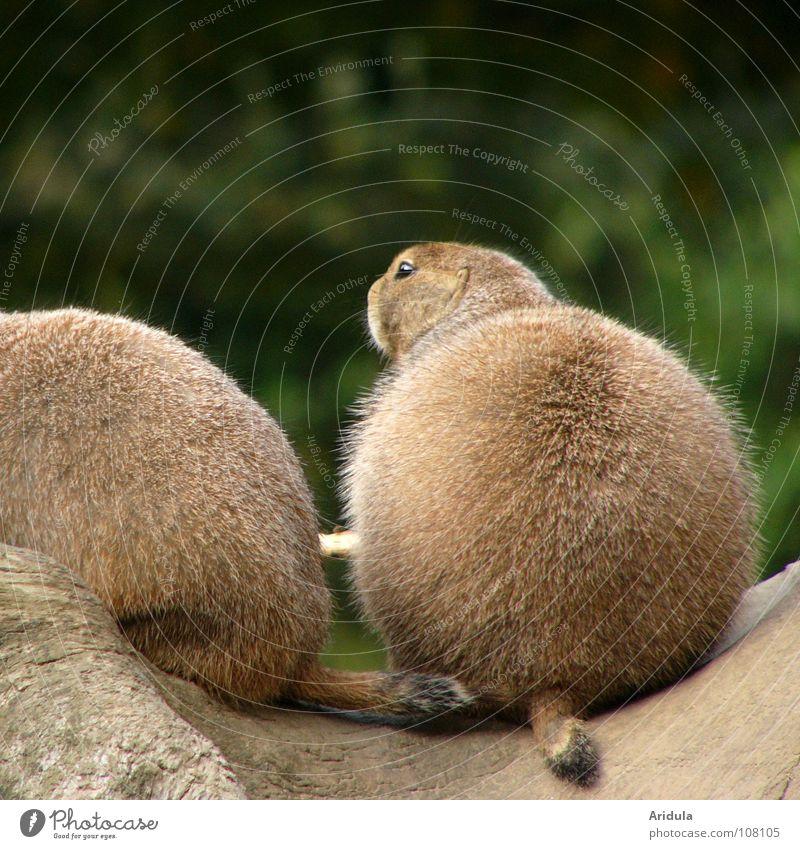 Ball with head Animal Pelt Brown Meerkat Round Zoo Green Prairie dog Mammal Sit Sphere Multiple Nature