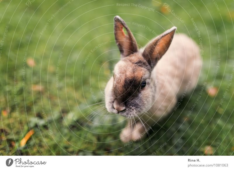 Perforated urban bunny Autumn Meadow Wild animal rabbit rabbit 1 Animal Cute Pitted Hollow Wound Be confident bunnies Autumn leaves Colour photo Exterior shot
