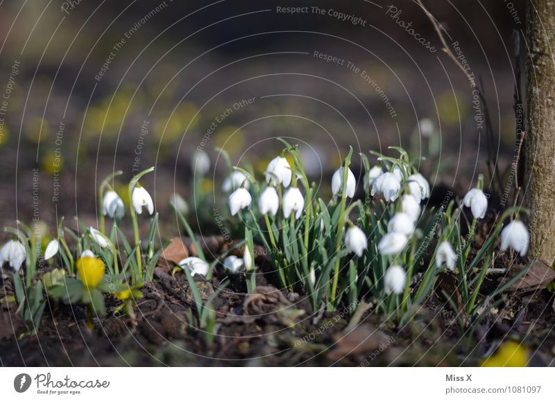 early in the year Garden Spring Beautiful weather Flower Blossom Blossoming Growth Moody Spring fever Beginning Snowdrop Spring flower Spring flowering plant