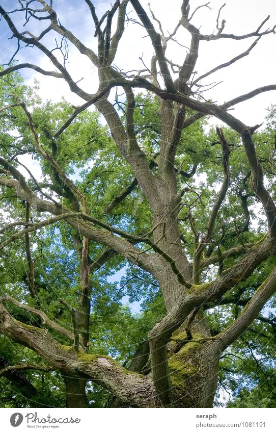 Ancient Oak Nature Old Plant Green Tree Leaf Forest Environment Growth Idyll Power Branch Tree trunk Twig Treetop Moss