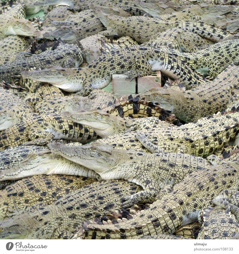 crocodile salad Crocodile Zoo Animal Australia Dangerous Enclosure Narrow Crowded Boredom crocodile farm Gloomy Agriculture Alcohol-fueled Group of animals